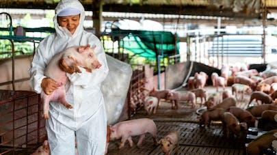 Un virus de grippe porcine G4 sera-t-il à l'origine de la prochaine pandémie ?