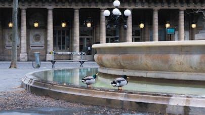 Les canards boivent dans une fontaine publique devant la Comédie Française à Paris.