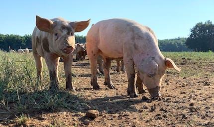 Sads-Cov : un nouveau coronavirus transmis par le porc ?
