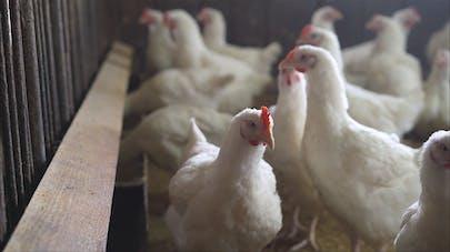 Grippe aviaire : la France relève le niveau de risque