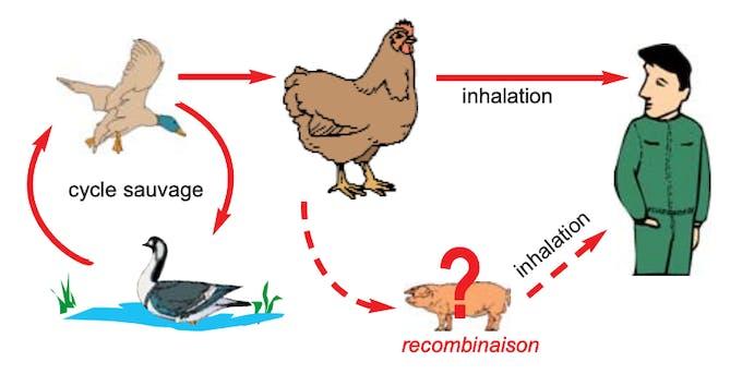 Comment se transmet la grippe aviaire ?