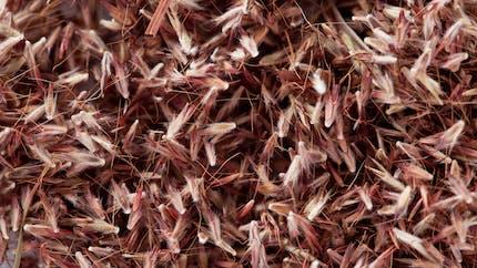 L'huile essentielle de palmarosa, antibactérienne et anti-infectieuse