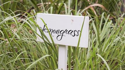 L'huile essentielle de lemongrass, contre les troubles digestifs