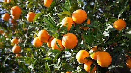 L'essence d'orange douce, bonne pour la digestion