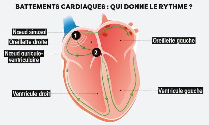 battements cardiaque : qui donne le rythme ?