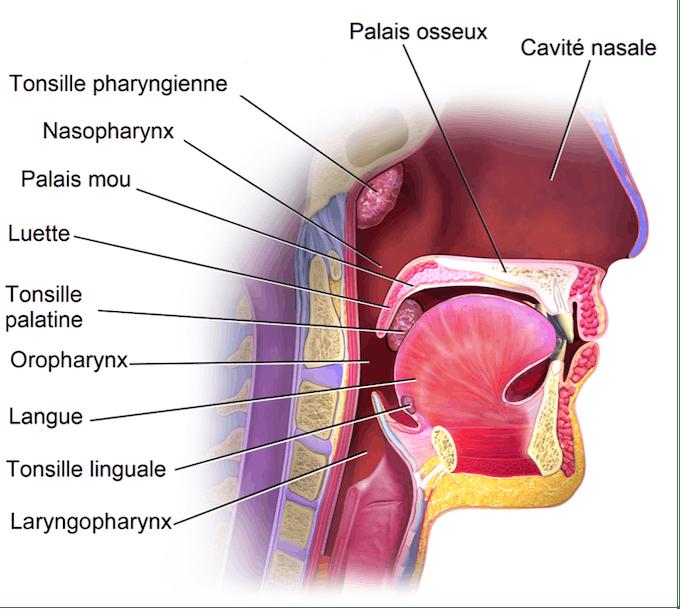 Anatomie gorge
