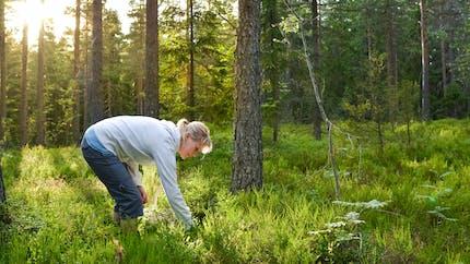 Cueillettes sauvages: gare aux confusions entre colchique et ail des ours