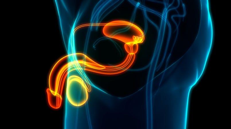 Des points communs inattendus découverts entre cerveau et testicules