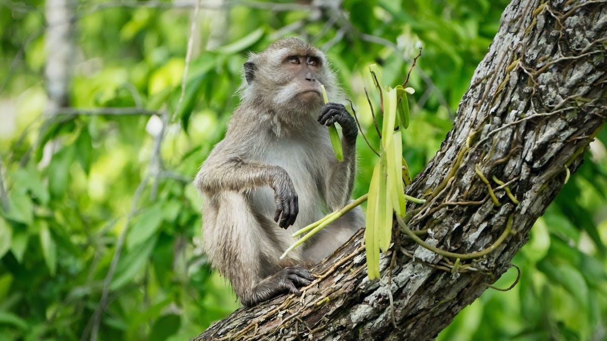 Un macaque dans un arbre.
