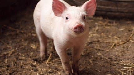 Aux États-Unis, un rein de porc transplanté à un homme